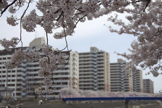 写真: 柏尾川の桜 07