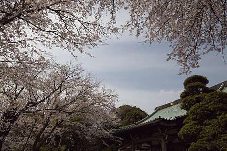 妙法寺の桜 02