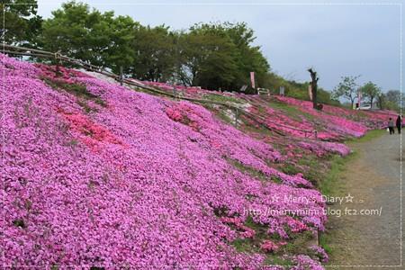 相模川芝桜