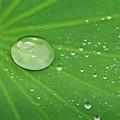 Photos: 古代ハスの水滴