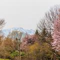 写真: 桜と手稲山の残雪